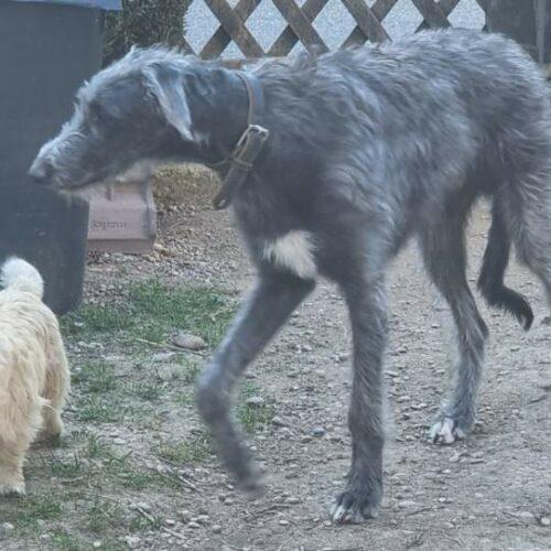 chiot cairn terrier (2)