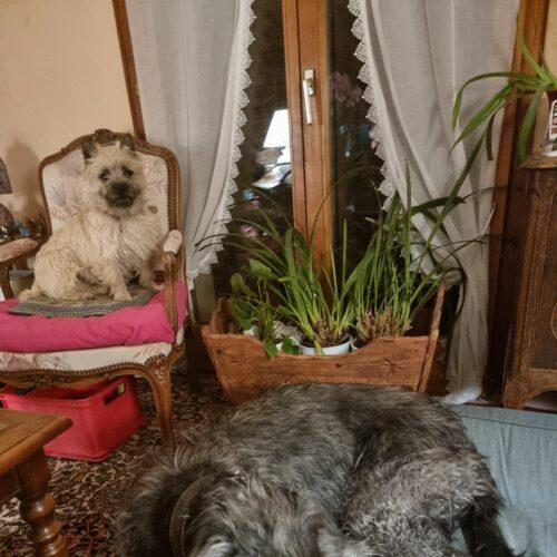 chiot cairn terrier (3)